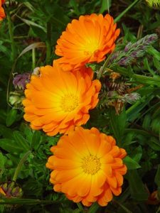 Calendula, a herb that benefits the garden and your health.